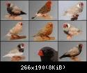 معرض صور طيور الزيبرا • téléchargement (2)