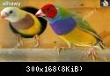 معرض صور طيور الجولديان • téléchargement