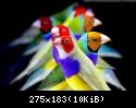 معرض صور طيور الجولديان • téléchargement (1)