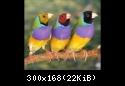 معرض صور طيور الجولديان • 2rand[0,1,1]