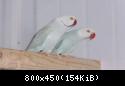معرض صور طيور الببغاء • Durra parrot bird white color