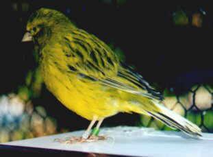 طيور ولا اروع Fife