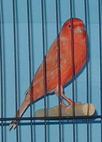 طيور ولا اروع Redfactor