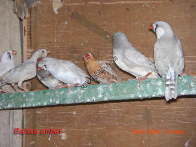 دورة حياة عصفور الزيبرا وانواعه طائر الزيبرا الفرعيه
