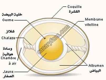 مراحل تطور البيض