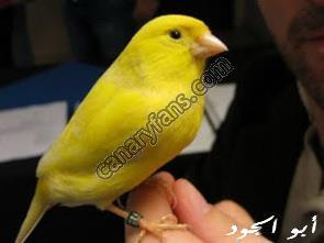 ترويض طيور الكناري