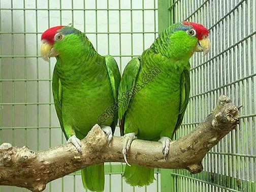 لمحبى اللون الاخضر Amazon-Green-Cheeked