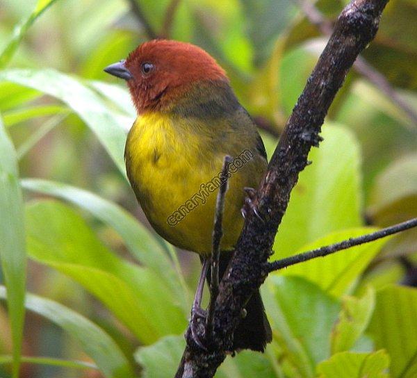 أنواع طيور البوح العنبريات ( الجزء السادس و الآخير )