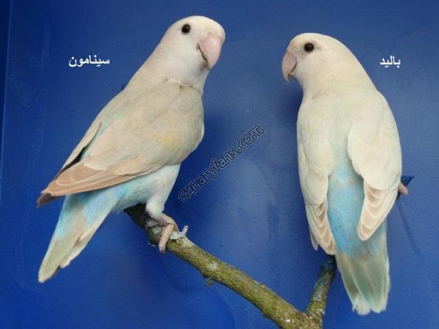 الوان الروز from www.canaryfans.com