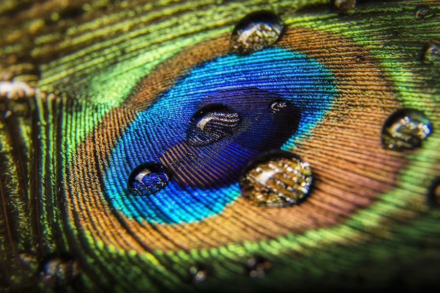 ريش الطاوس الفائق الجمال Peacock
