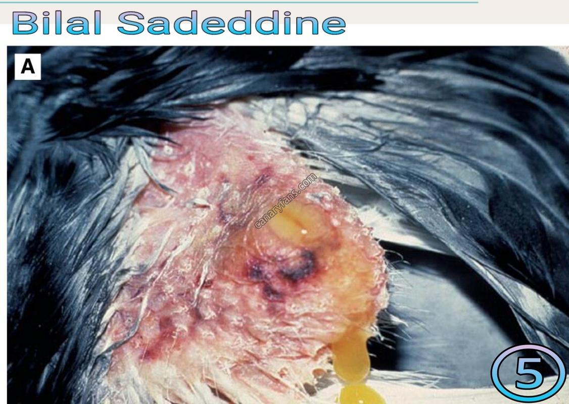 السالمونيلا عند طيور الزينة من الألف إلى الياء – د. بلال سعد الدين