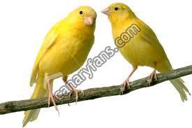سلالة طيور الكناري