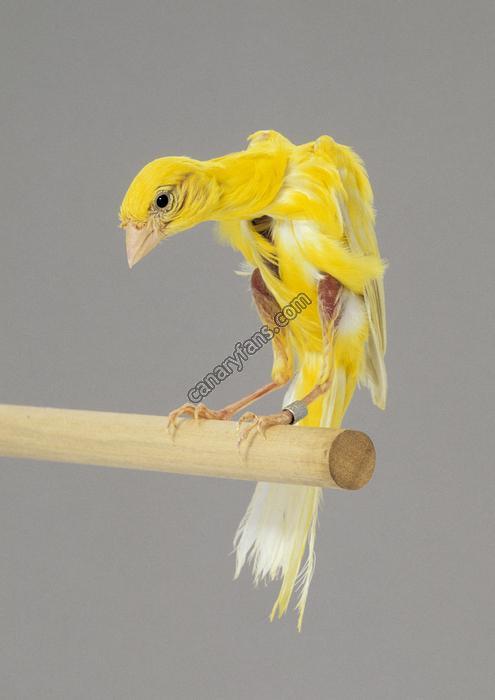 تاريخ وأصل طيور الكناري