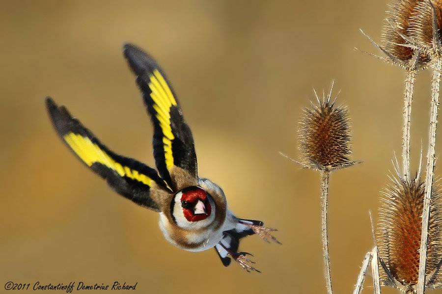اسرار غيار الريش الكامل والجزئي عند طائر الحسون