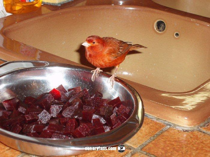 تغذية طيور الكناري