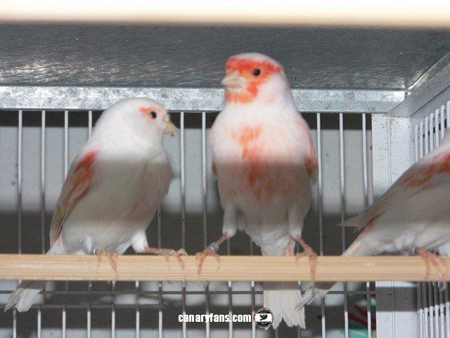 العناية الكاملة بطيور الكناري