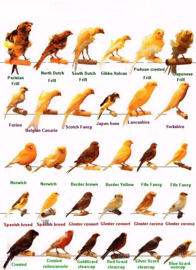 طيور الكناري